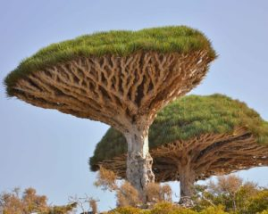 Dragon's Blood Tree photo by Red Waddington