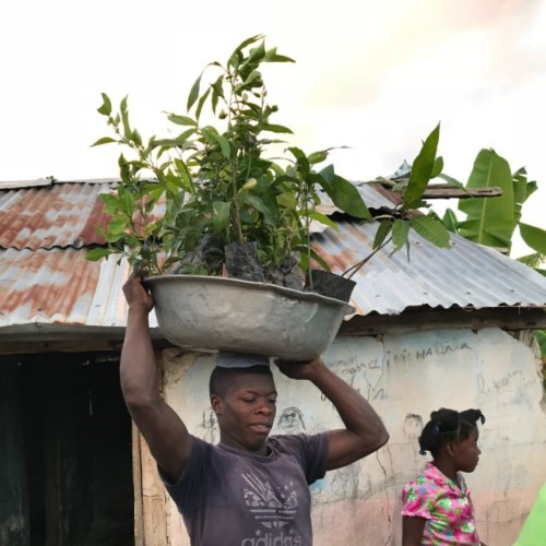haiti tree distribution