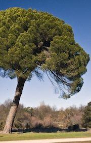 Stone Pine ForestNation