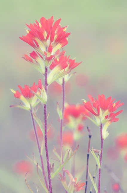 Ron Clifford Spring Wildflowers_Indian Paintbrush 2013-82-4