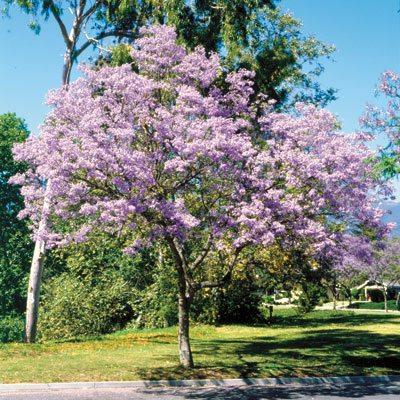 Empress tree fn