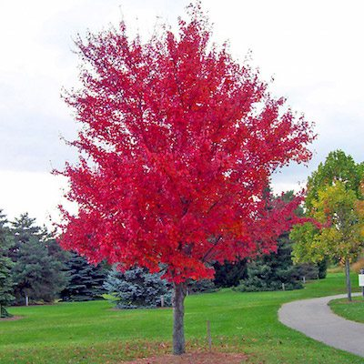 red-maple-tree-1106613001860497SS-3