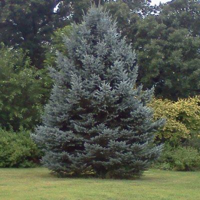 Blue-Spruce-Tree