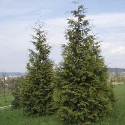western-red-cedar
