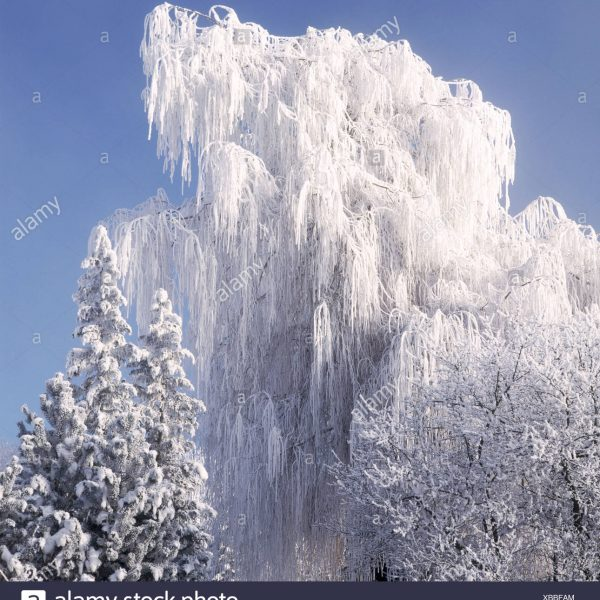 branches-hang-trees-snow-covers-firs-weeping-willow-winter-switzerland-XBBFAM